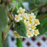 Beigea blommor av den hoya växten royaltyfria bilder
