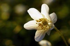 Beignet de la fleur blanche des feuillets verts Photographie stock libre de droits