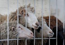 Beihnd dos carneiros de Merinos a cerca Imagem de Stock