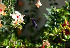 Beija-Flor Foto de Stock Royalty Free