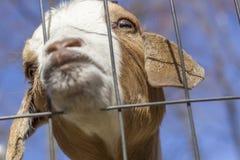 Beijando a cabra Foto de Stock