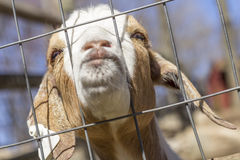 Beijando a cabra Fotografia de Stock