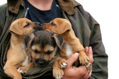 Beijando filhotes de cachorro Fotos de Stock Royalty Free