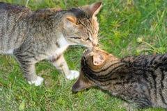 Beijando gatos. Imagens de Stock