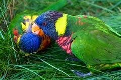 Beijando o arco-íris Lorikeets Fotografia de Stock
