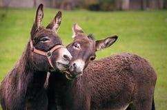 Beijando o burro Fotos de Stock Royalty Free
