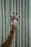 Beijando o giraffe Foto de Stock