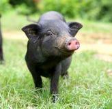 Beijando o porco Fotos de Stock