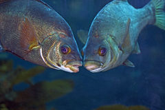 Beijando peixes fotografia de stock