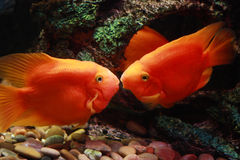 Beijando peixes fotos de stock