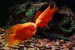 Beijando peixes Foto de Stock Royalty Free