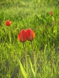 Beijando tulipas Imagem de Stock Royalty Free