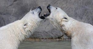 Beijando ursos polares Imagens de Stock Royalty Free