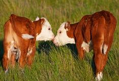 Beijando vitelas Imagens de Stock Royalty Free