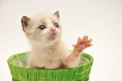 Beije adorable kitten Royalty Free Stock Image