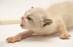 Beije adorable kitten eating Royalty Free Stock Image