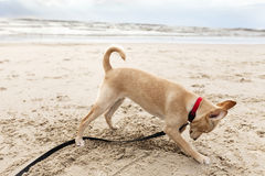 Puppy Digging at the Beach Stock Photos