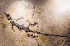 Beijing China, October 16, 2018: terodactyl Fossil, Pterodactilus Spectabilis, Fossil of prehistoric animals, Fossil. Trilobite imprint in the sediment stock photography