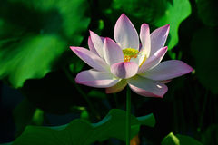Beijing lotus pond lotus. Plant, capture shot Stock Photo