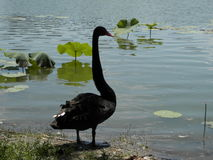 Beijing park black swan Royalty Free Stock Photos