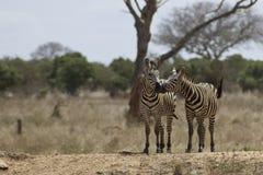 Beijo africano Foto de Stock Royalty Free