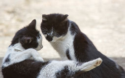 Beijo amigável de dois gatos Fotos de Stock