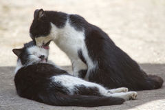 Beijo amigável de dois gatos Imagens de Stock Royalty Free
