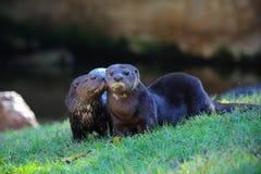 Beijo da lontra Fotografia de Stock