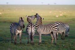 Beijo da zebra Imagem de Stock