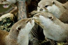 Beijo das lontras Imagem de Stock Royalty Free
