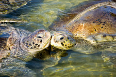 Beijo das tartarugas Fotografia de Stock