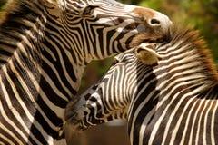 Beijo das zebras Imagem de Stock