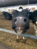 Beijo de adeus da vitela Fotografia de Stock
