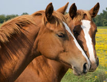 Beijo de dois cavalos Foto de Stock Royalty Free