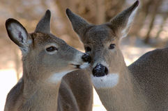 Beijo de dois cervos Foto de Stock Royalty Free