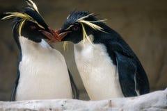 Beijo de dois pinguins imagem de stock royalty free