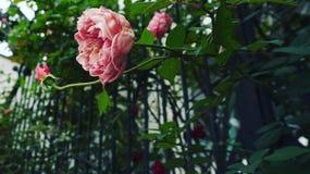 Beijo de uma rosa Imagem de Stock Royalty Free