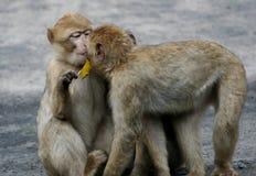 Beijo do babuíno de dois bebês Fotos de Stock