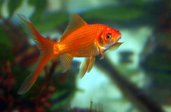 Beijo do Goldfish fotos de stock royalty free