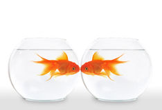 Beijo do Goldfish foto de stock royalty free