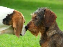 Beijo do lebreiro e do dachshund imagem de stock royalty free