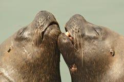Beijo dos leões de mar Imagens de Stock Royalty Free