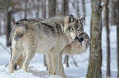Beijo dos lobos de madeira Fotos de Stock Royalty Free