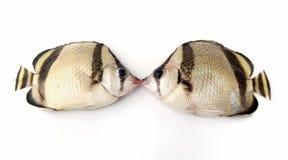 Beijo dos peixes Fotos de Stock Royalty Free