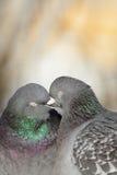 Beijo dos pombos. Fotografia de Stock Royalty Free