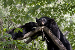 Beijos do urso Fotos de Stock
