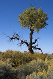 Beinahe toter Baum in der hohen Wüste unter blauem Himmel. Stockbilder