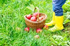 Beine des Kindes in den gelben Regenstiefeln und in den roten Äpfeln Stockbilder