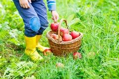 Beine des Kindes in den gelben Regenstiefeln und in den roten Äpfeln Lizenzfreies Stockfoto