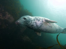 Being buzzed by a grey seal 02 Royalty Free Stock Photos